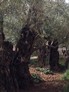 Holy Lad 2015 olive trees